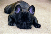 French Bulldogs kennel